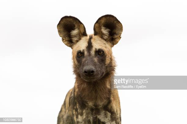 portrait of hyena against white background - wild dog stock pictures, royalty-free photos & images