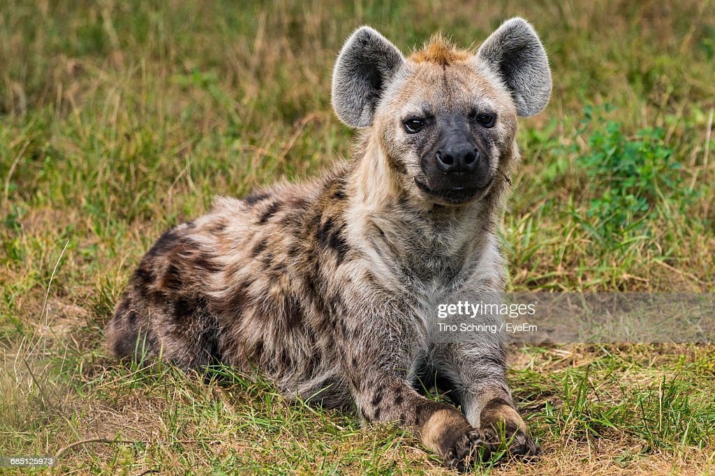 Portrait Of Hyena Resting On Field In Zoo : Stock Photo