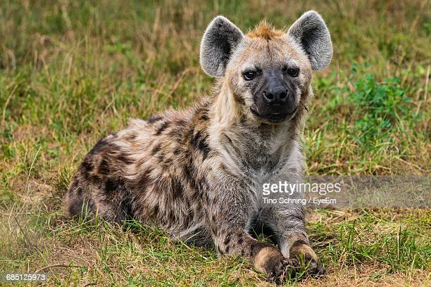 Portrait Of Hyena Resting On Field In Zoo