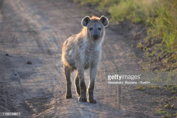 portrait of hyena standing on dirt road - spotted hyena stock pictures, royalty-free photos & images