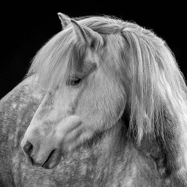 Portrait Of Icelandic Horse, Iceland Wall Art