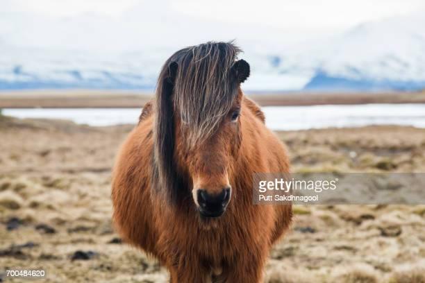 Portrait of Icelandic Horse