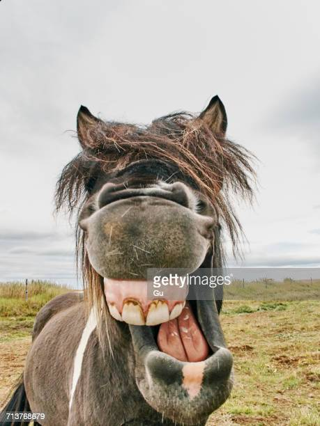 portrait of icelandic horse with mouth open, husavik, iceland - husavik stock photos and pictures