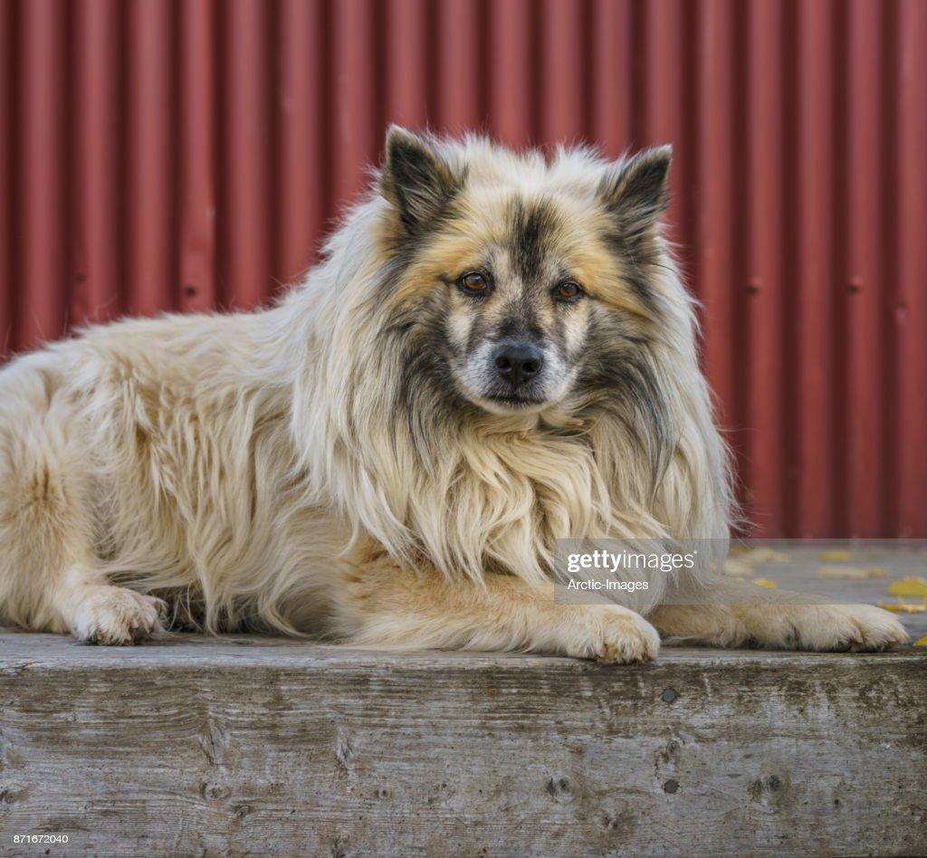 Portrait of Icelandic Sheep Dog, Iceland : Stock Photo
