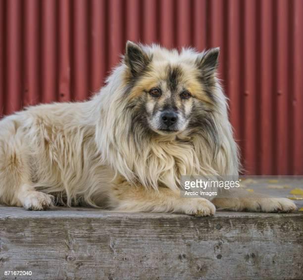 Portrait of Icelandic Sheep Dog, Iceland