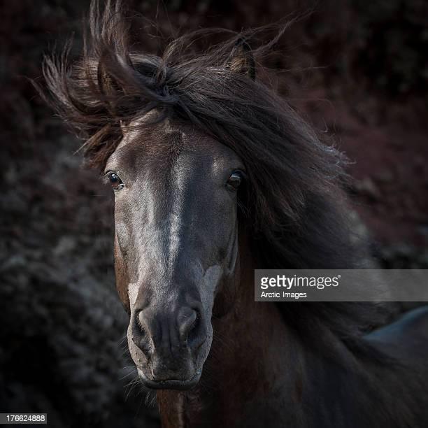 Portrait of Icelandic Stallion, Iceland