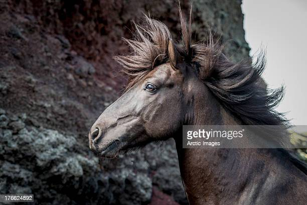 Portrait of Icelandic Stallion, Iceland