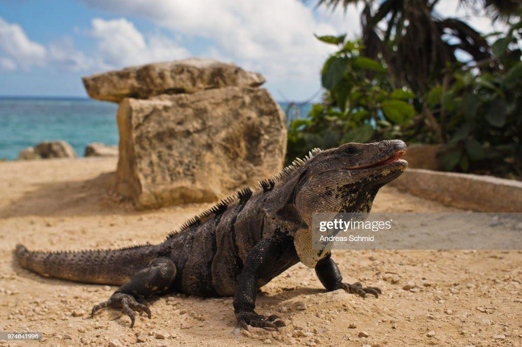 Portrait of Iguana, Tulum, Mexico : Stock Photo