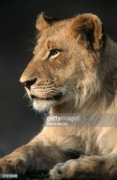 portrait of immature male lion (panthera leo) - 自然保護区 ストックフォトと画像