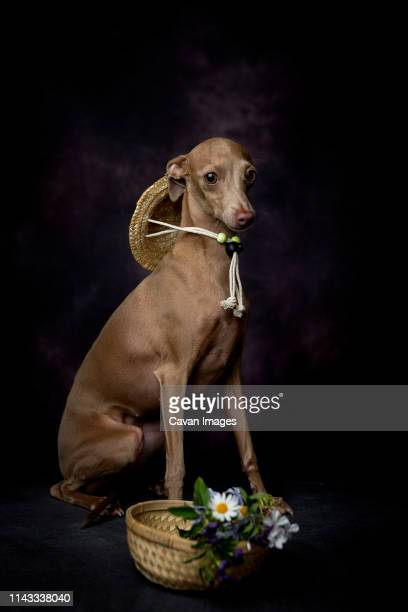 portrait of italian greyhound with flowers in basket sitting against black background - levrette position photos et images de collection