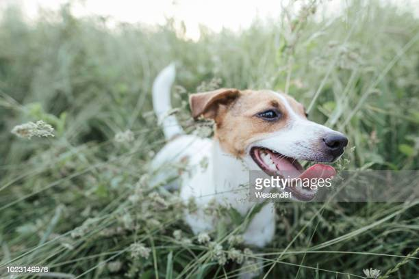 portrait of jack russel terrier on a meadow - jack russell terrier photos et images de collection