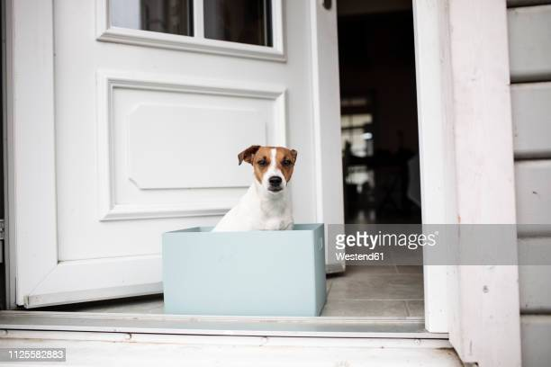 Portrait of Jack Russel Terrier sitting in a cardboard box in front of open house entrance