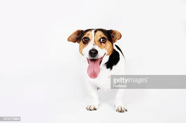 portrait of jack russell dog - panting stock pictures, royalty-free photos & images