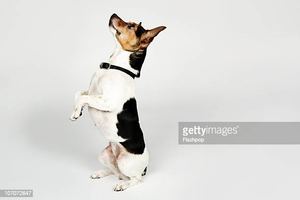 portrait of jack russell dog sitting up on his bac - jack russell terrier bildbanksfoton och bilder
