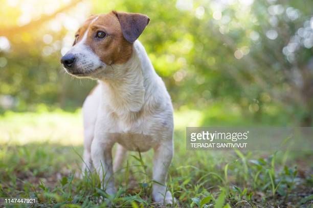 portrait of jack russell terrier. a dog playing on the backyard in the light of a morning sunrise. pet in the summer - jack russell terrier stock pictures, royalty-free photos & images