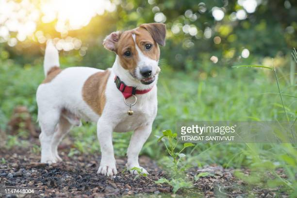 portrait of jack russell terrier. a dog playing on the backyard in the light of a morning sunrise. pet in the summer - jack russell terrier photos et images de collection