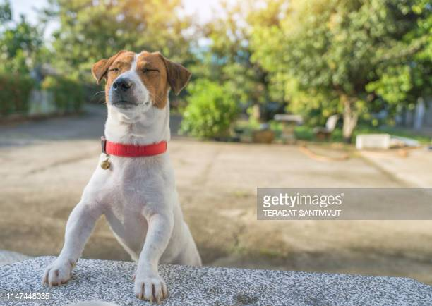 portrait of jack russell terrier. a dog playing on the backyard in the light of a morning sunrise. pet in the summer - beagle stock pictures, royalty-free photos & images