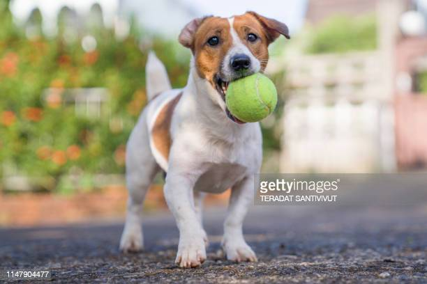portrait of jack russell terrier. a dog playing on the backyard in the light of a morning sunrise. pet in the summer - jack russell terrier foto e immagini stock