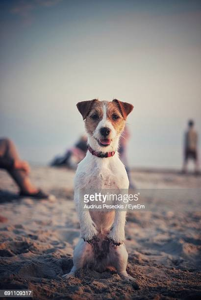 Portrait Of Jack Russell Terrier At Beach Against Sky