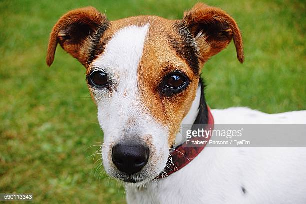 Portrait Of Jack Russell Terrier Dog Standing On Grassy Field