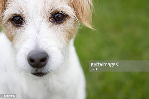 retrato de jack russell terrier horizontal - jack russell terrier - fotografias e filmes do acervo
