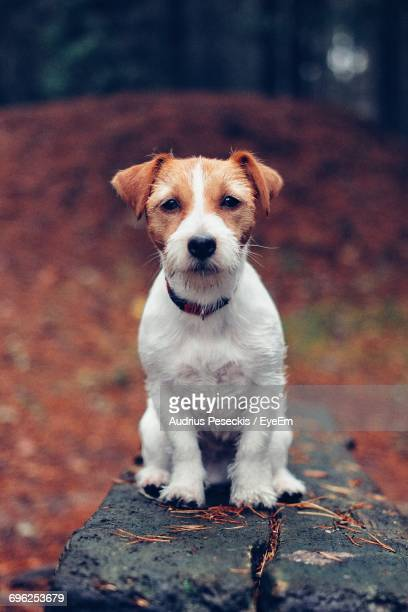 portrait of jack russell terrier on wood during autumn - jack russell terrier bildbanksfoton och bilder