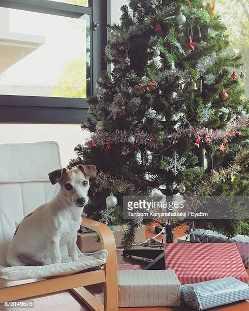 Portrait Of Jack Russell Terrier Sitting On Sofa By Christmas Tree At Home