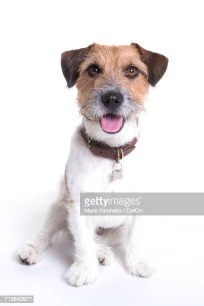 portrait of jack russell terrier sitting on white background - jack russell terrier bildbanksfoton och bilder