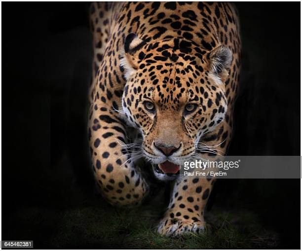 Portrait Of Jaguar Walking On Field