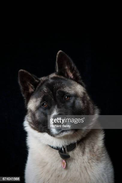 Portrait of Japanese Akita over black background