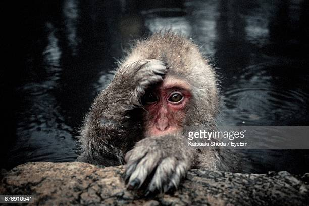Portrait Of Japanese Macaque Bathing In Hot Spring