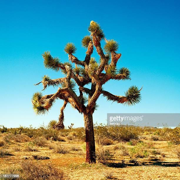 Portrait of Joshua Tree California under clear blue sky