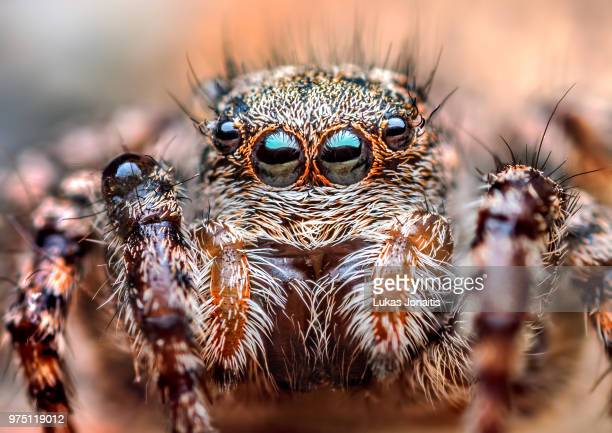 portrait of jumping spider - asianellus (=phlegra) festivus - festivus stock photos and pictures