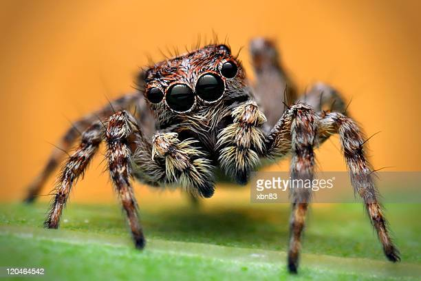 portrait of jumping spider - spider stock pictures, royalty-free photos & images