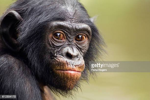 Portrait of juvenile Bonobo