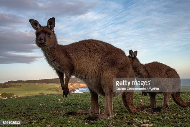 portrait of kangaroo on field - kangaroo island stock photos and pictures