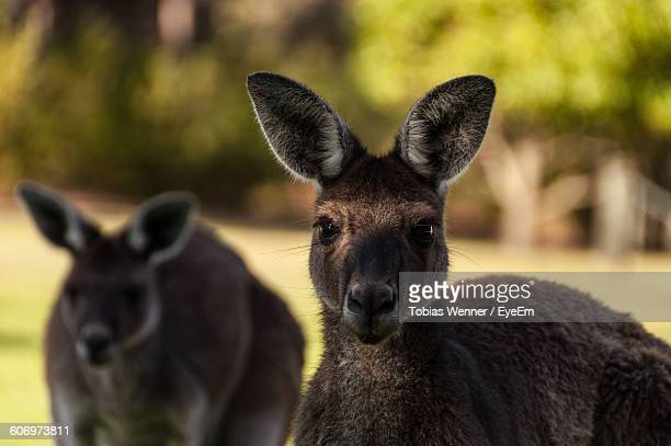Portrait Of Kangaroos