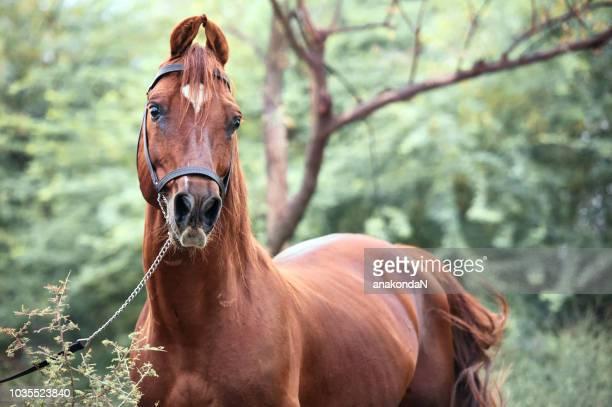 portrait of kathiawari  stallion posing in natura place. india - animal markings stock pictures, royalty-free photos & images