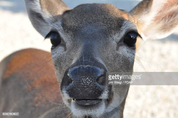 portrait of key deer - white tail deer stock photos and pictures