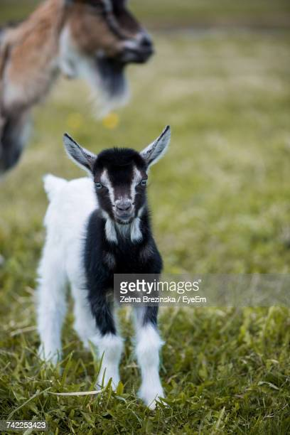 Portrait Of Kid Goat Standing On Grassy Field At Farm