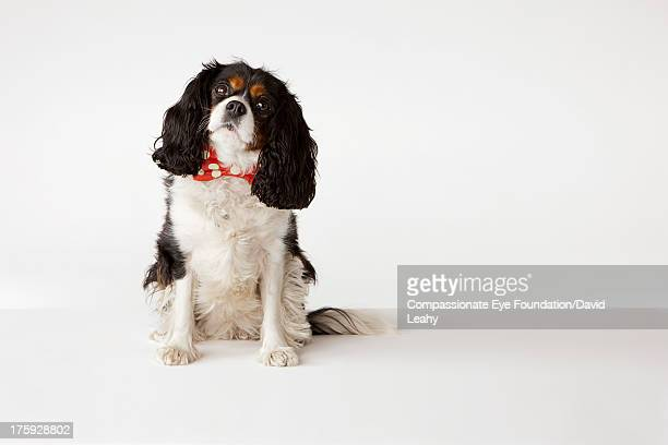 portrait of king charles cavalier - cavalier king charles spaniel photos et images de collection