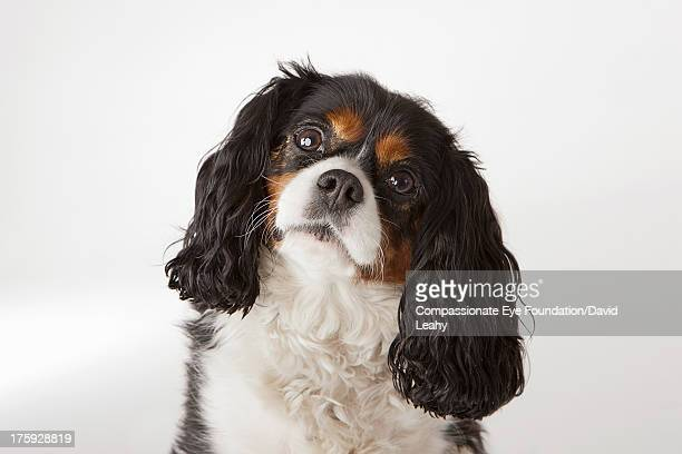 portrait of king charles terrier, headshot - hoofd schuin stockfoto's en -beelden