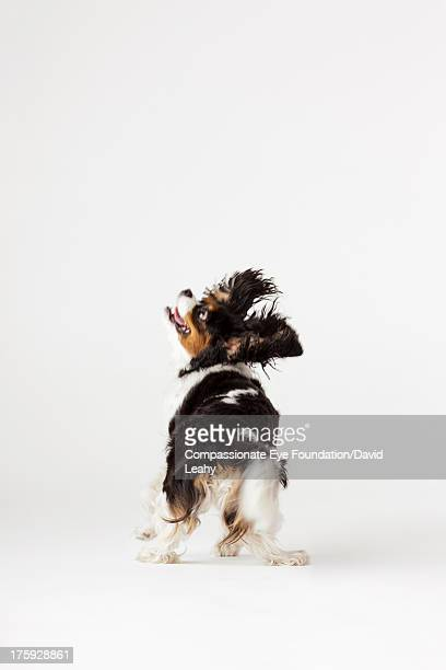 Portrait of King Charles Terrier, rear view