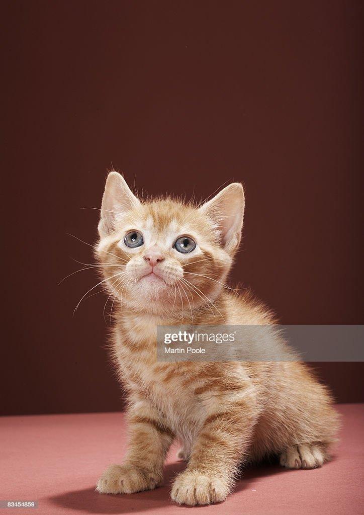 Portrait of kitten looking up : Stock Photo