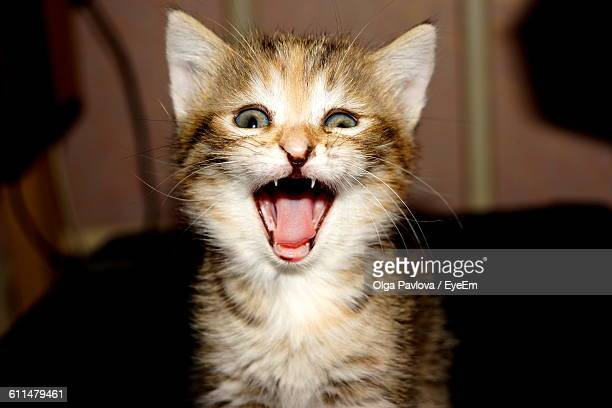 Portrait Of Kitten Meowing At Home