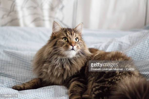 portrait of kitten sitting on sofa - maine coon cat stock pictures, royalty-free photos & images