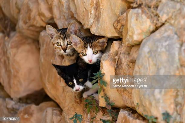portrait of kittens hiding in stone wall - three animals stock pictures, royalty-free photos & images