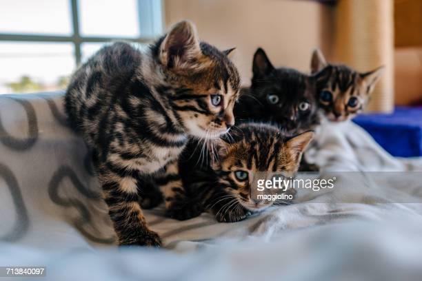portrait of kittens - quatre animaux photos et images de collection