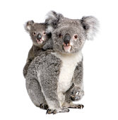 Portrait of Koala bears, 4 years and 9 months old
