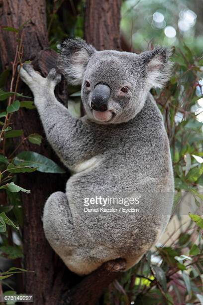 portrait of koala on tree trunk - koala stock photos and pictures